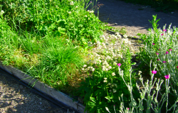 Weeds in the Craven Arms Community Garden